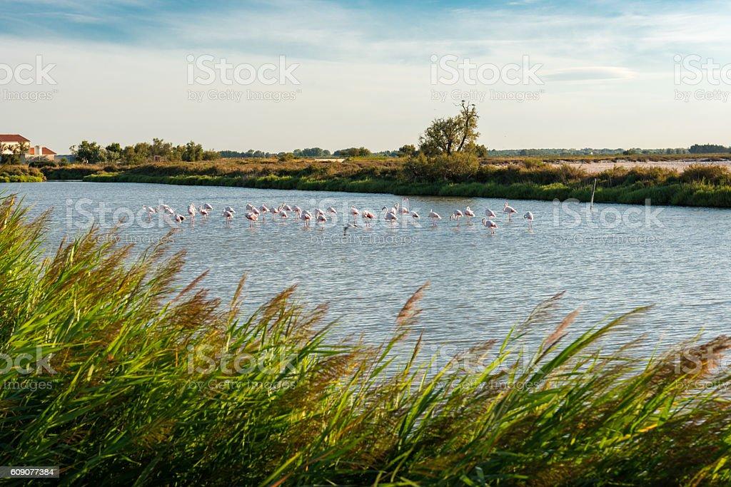flamingo in the camargue stock photo