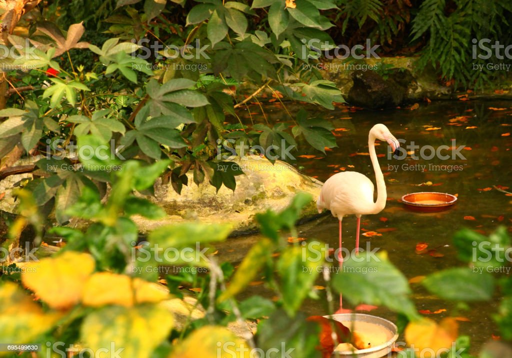 flamingo in the tropical asian park stock photo