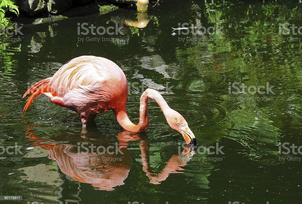 Flamingo in the wild royalty-free stock photo