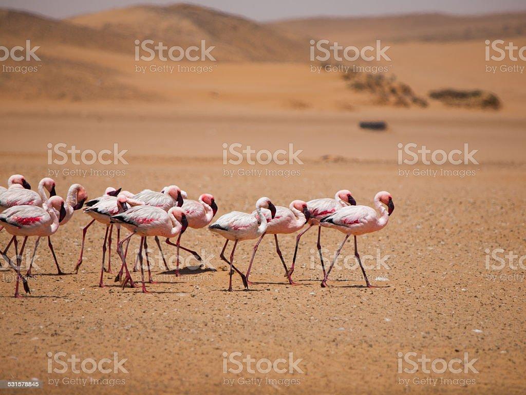 Flamingo march in Namib desert stock photo