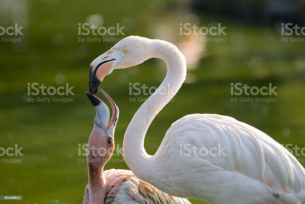 Flamingo Mother and Kid stock photo