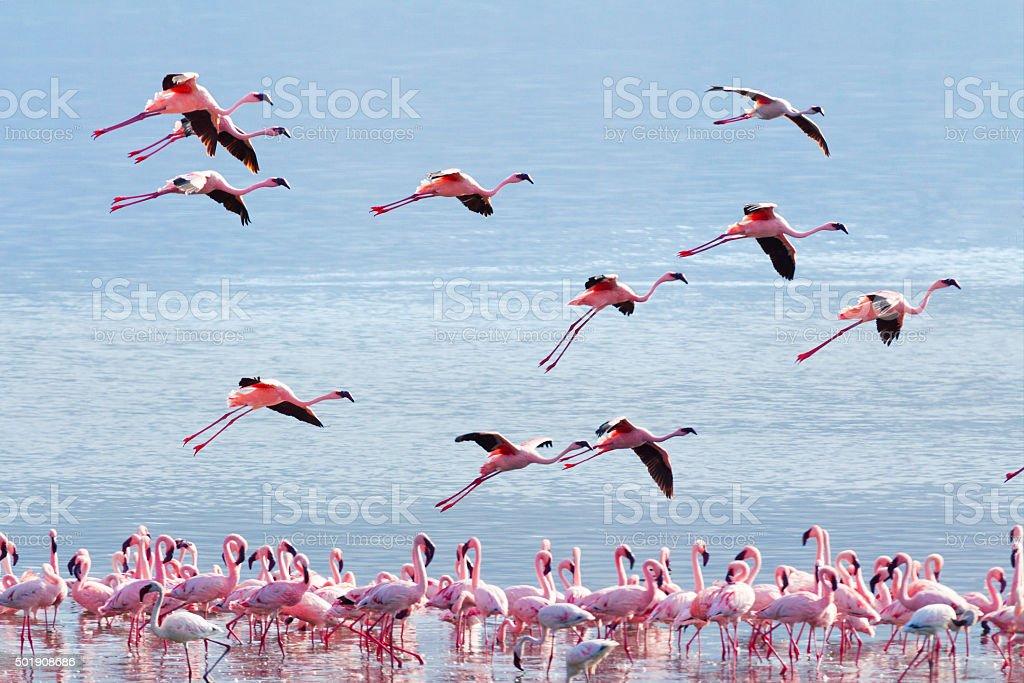 Flamingo near Bogoria Lake stock photo