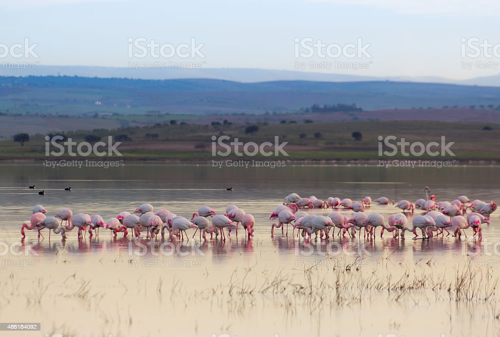 Flamingo north africa stock photo