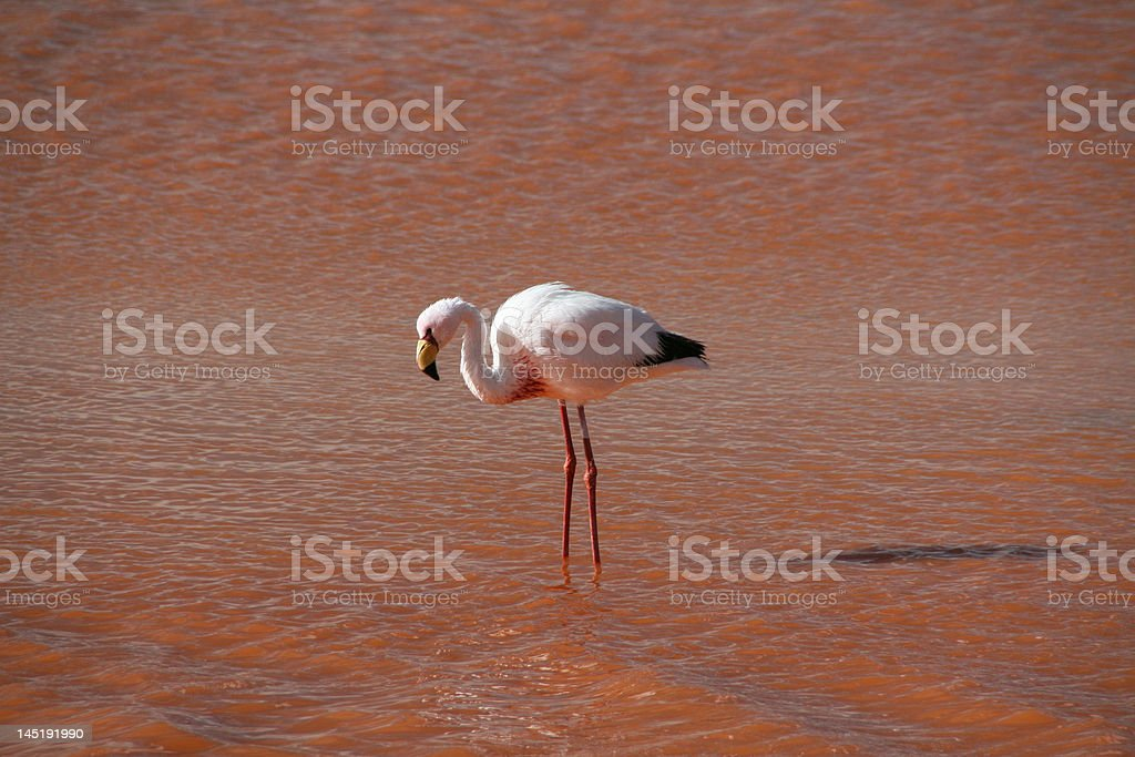 Flamingo on Laguna Colorada royalty-free stock photo