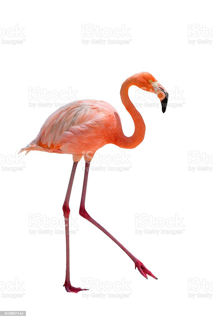 Flamingo on white background stock photo