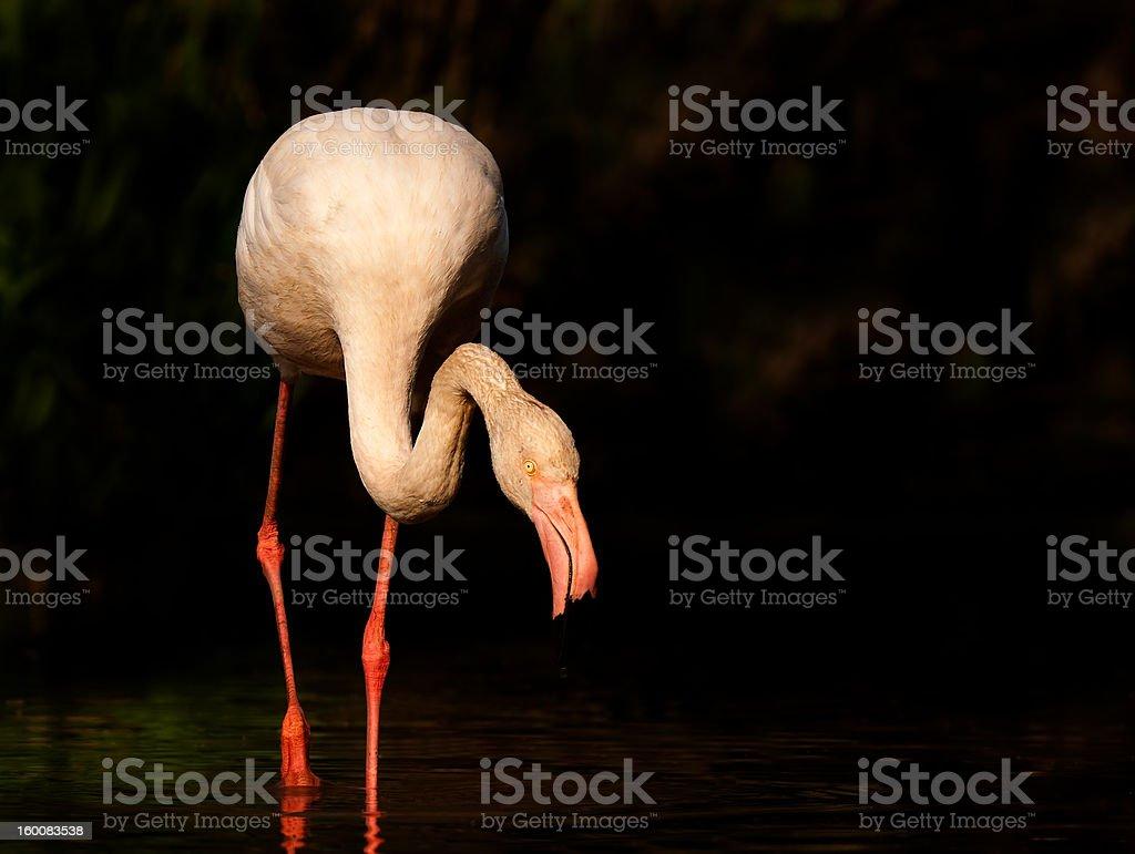 Flamingo zbiór zdjęć royalty-free