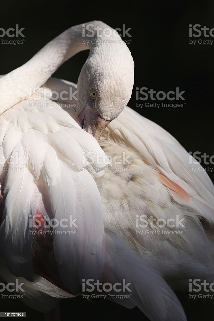 Flamingo (Phoenicopterus roseus) royalty-free stock photo