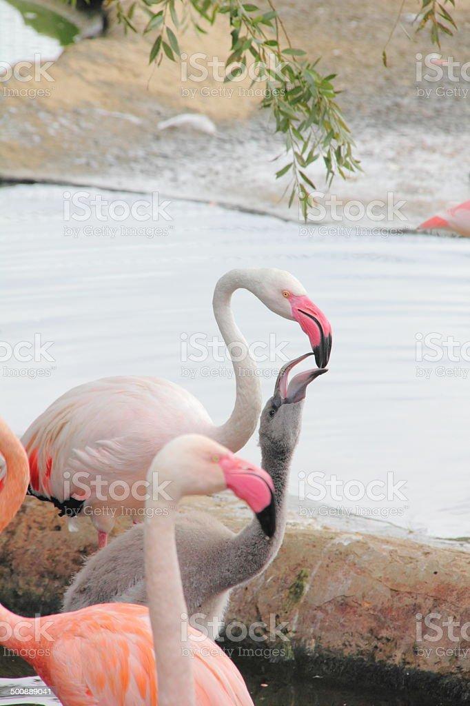 Flamingo. stock photo