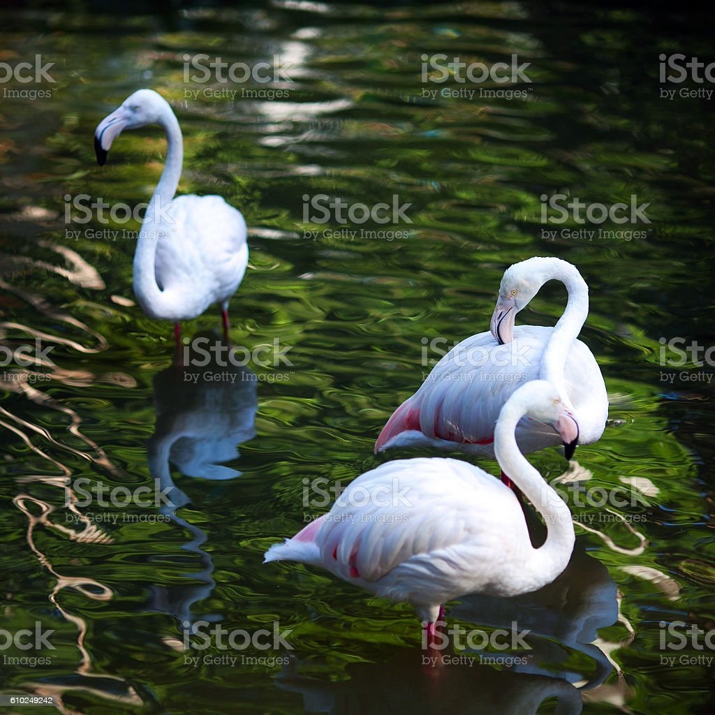 Flamingo (Phoenicopterus ruber) stock photo