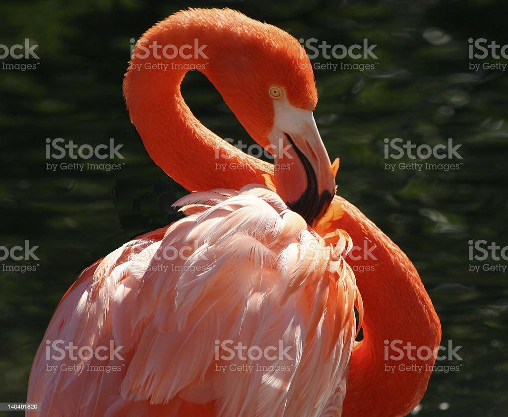 Flamingo posando foto de stock libre de derechos