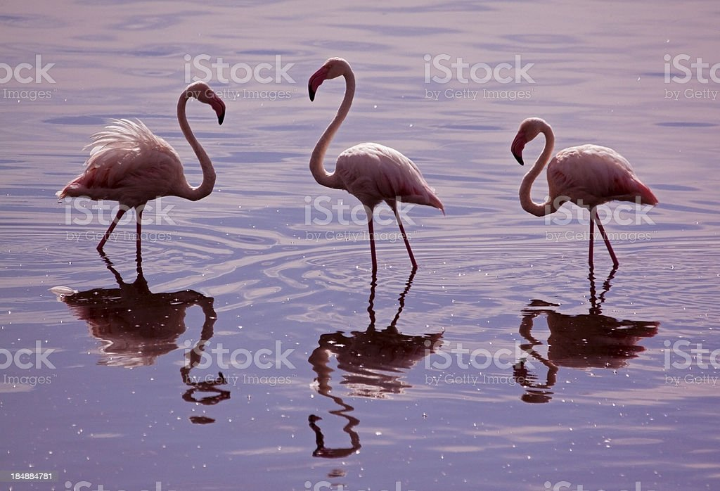 Flamingo reflections stock photo