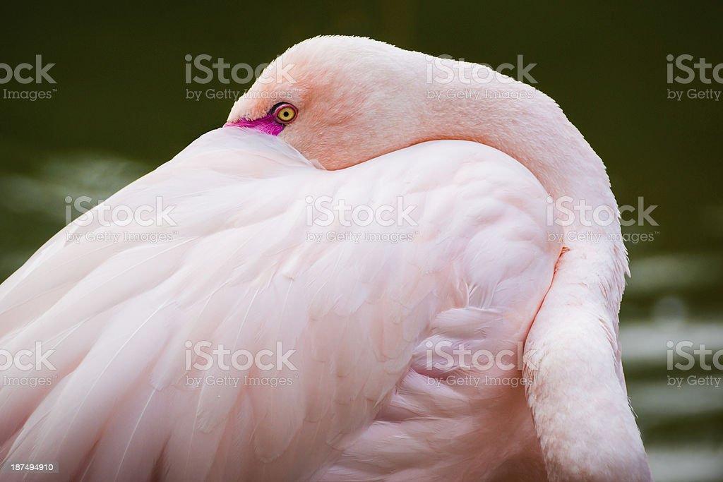 Flamingo Secret stock photo