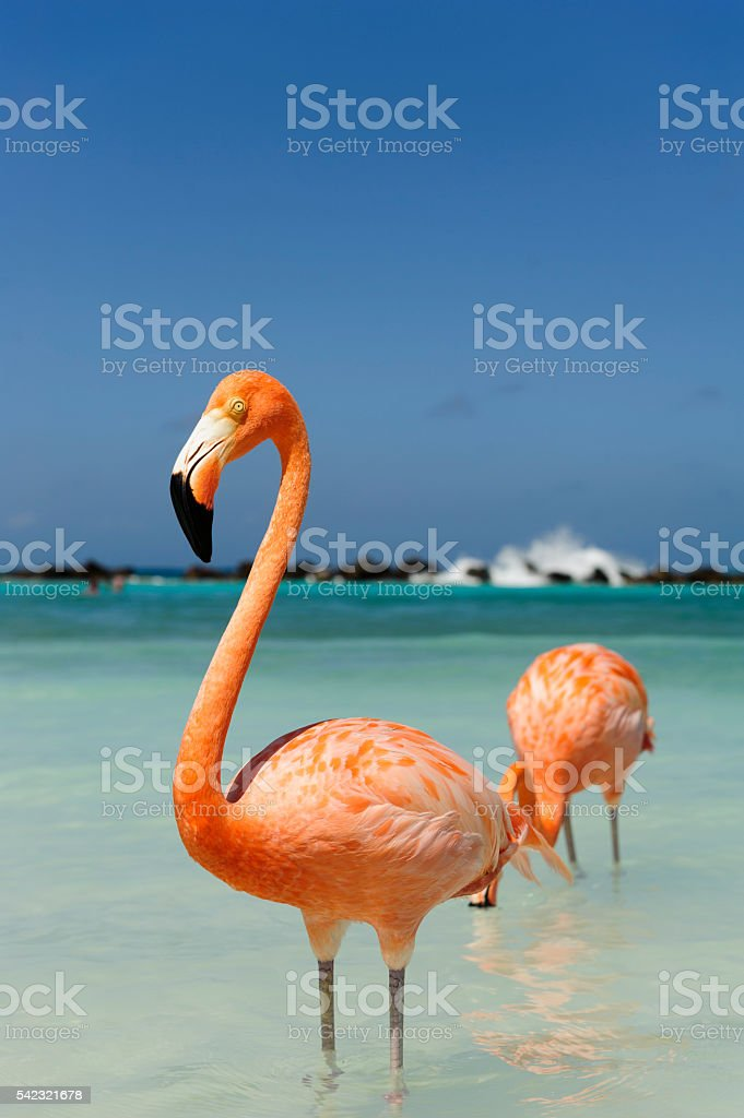 Flamingo standing in the turquoise sea stock photo