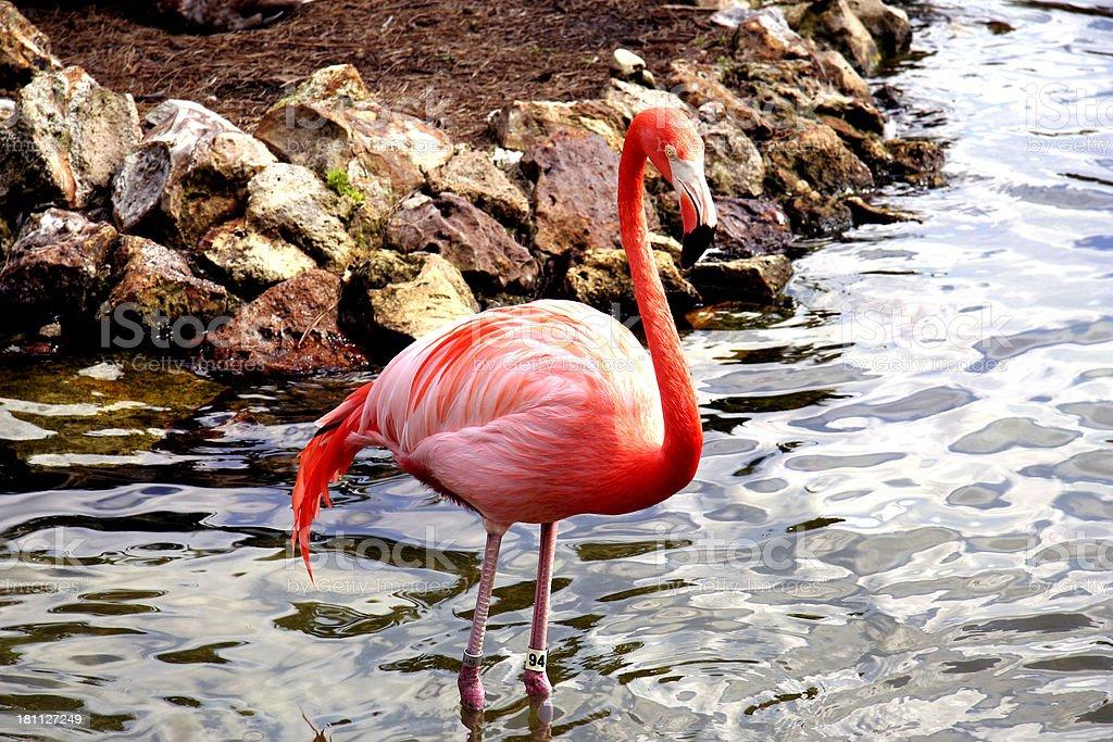 Flamingo Wading in Water stock photo