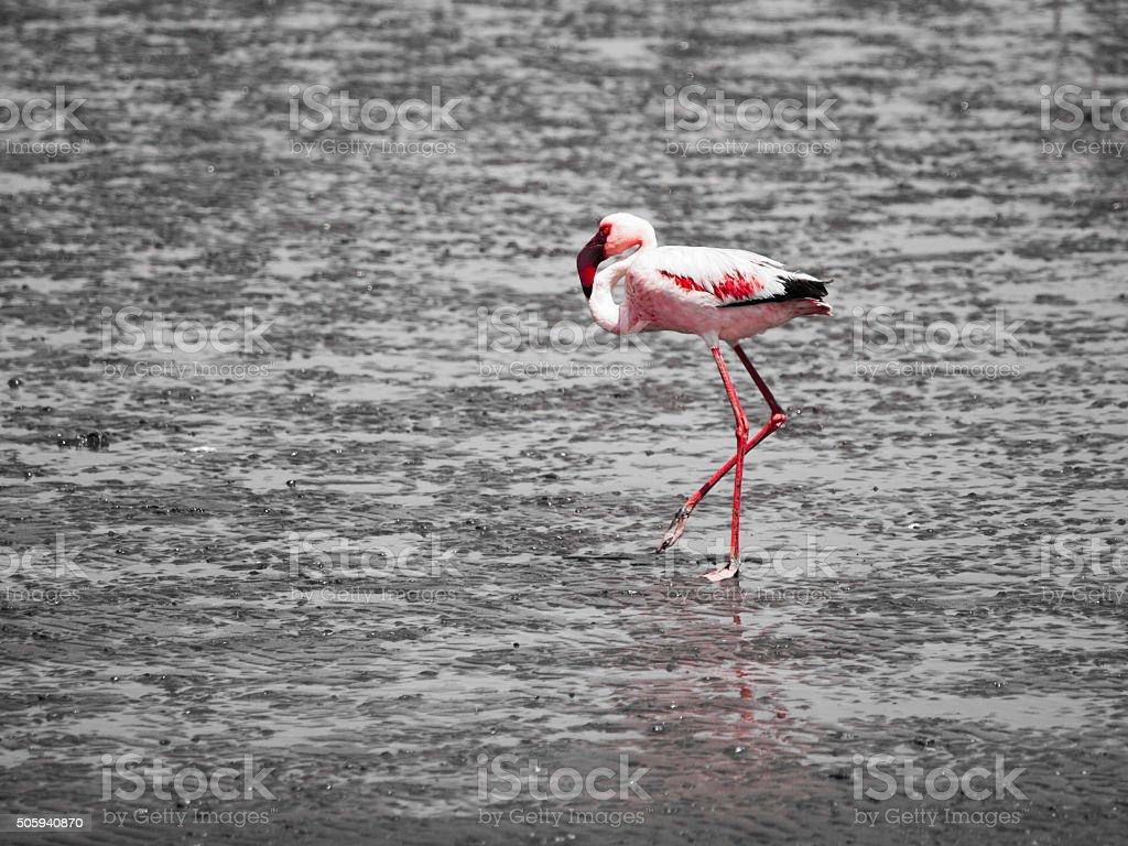 Flamingo walk in shallow water stock photo