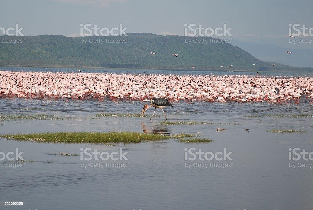 Flamingoes and Maribou Stork at Lake Nakuru, Kenya royalty-free stock photo