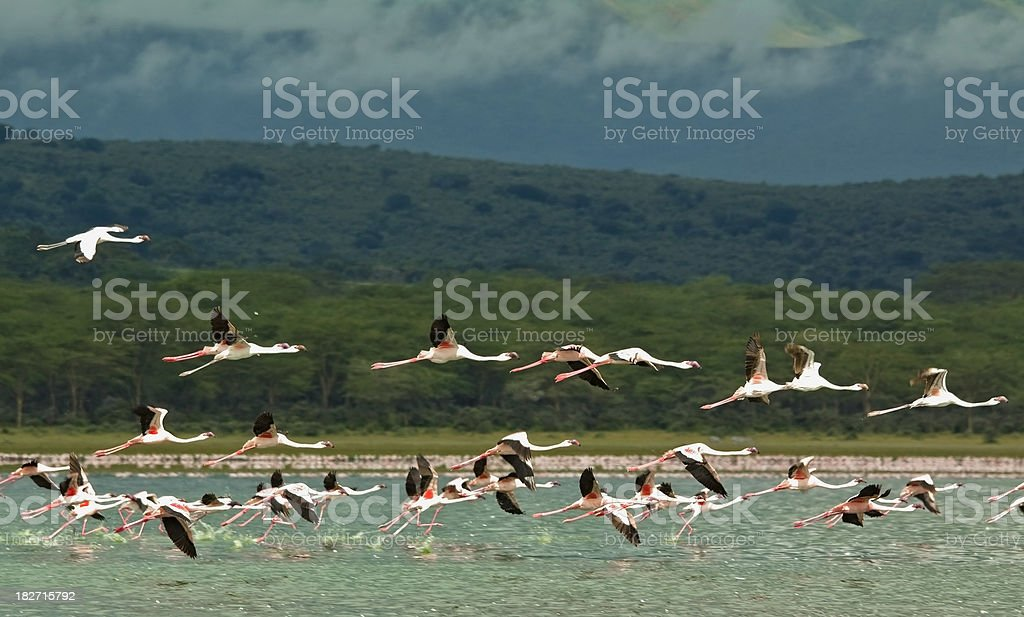 Flamingoes in flight stock photo
