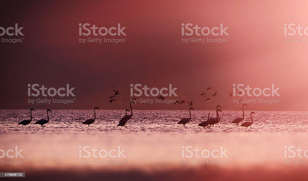 Flamingoes in Sun light. stock photo