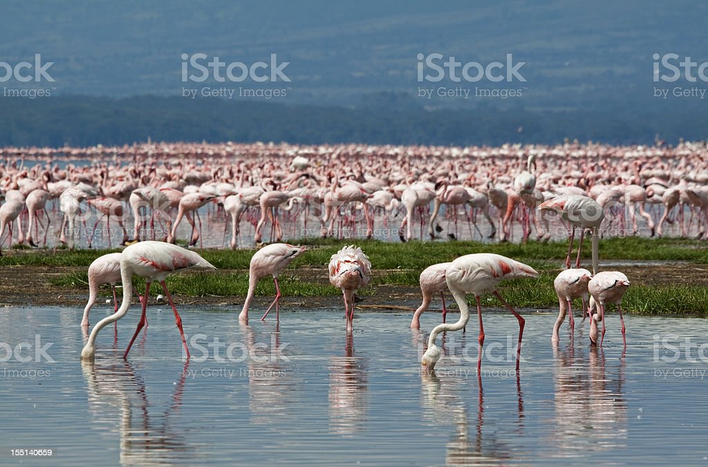 Flamingoes on Lake Nakuru stock photo
