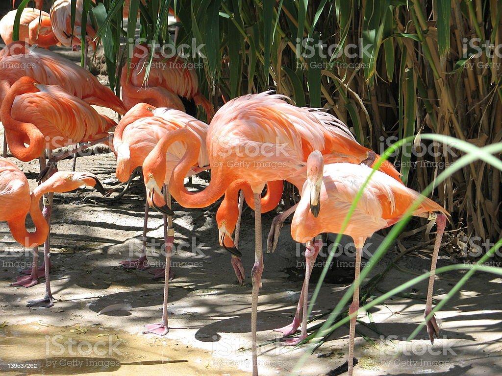 Flamingoes stock photo