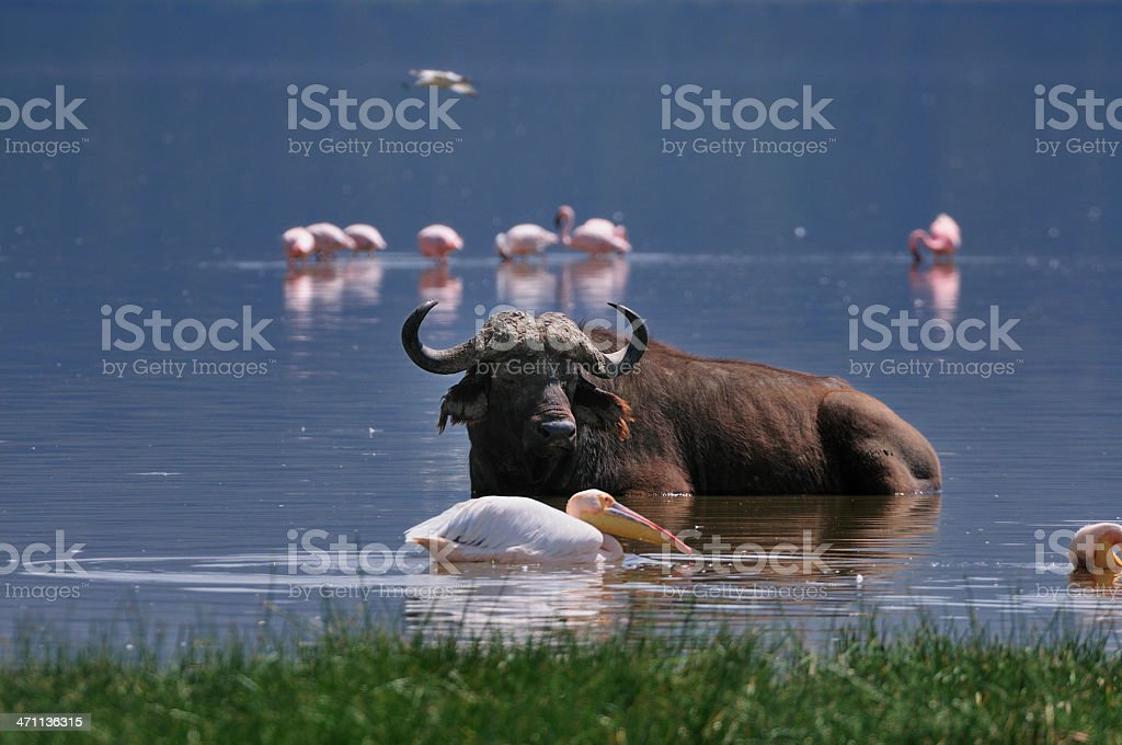 Flamingos and Buffalo on Lake Nakuru royalty-free stock photo