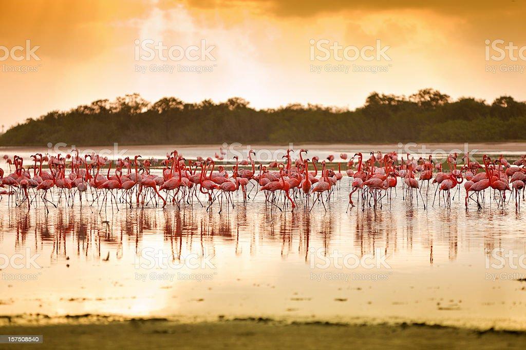 Flamingos at a Tropical coastal lagoon royalty-free stock photo