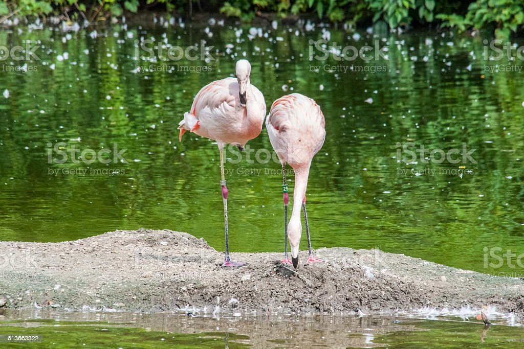 Flamingos at Bronx Zoo, New York, USA stock photo