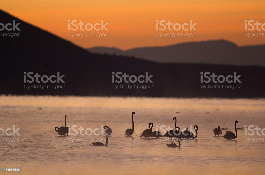 Flamingos at dawn royalty-free stock photo