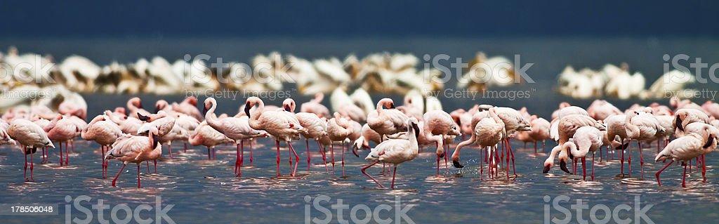 Flamingos at Lake Nakuru royalty-free stock photo