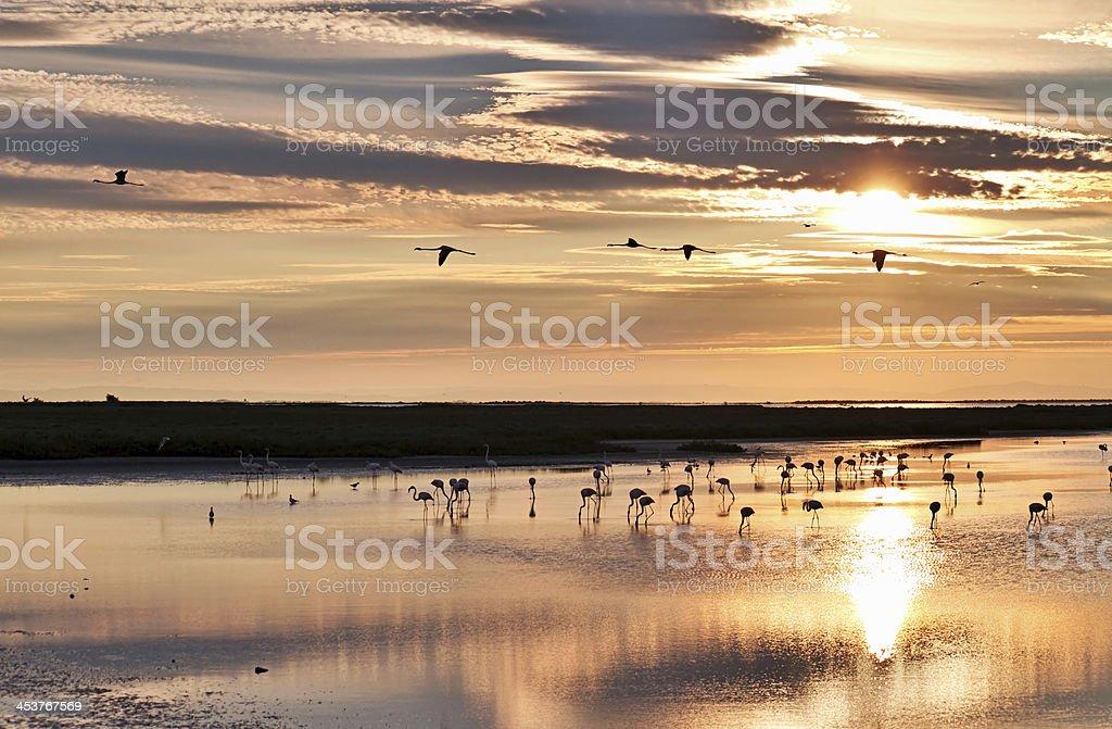 Flamingos at sunrise stock photo