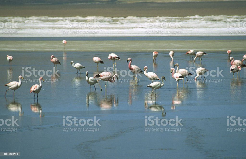 Flamingos at the Altiplano royalty-free stock photo