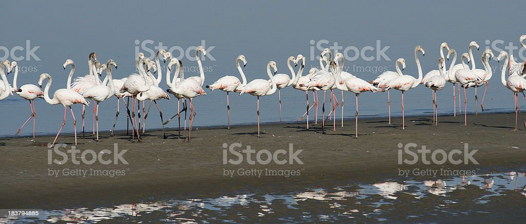 'Flamingo's at the lagoon,Walvis Bay' stock photo