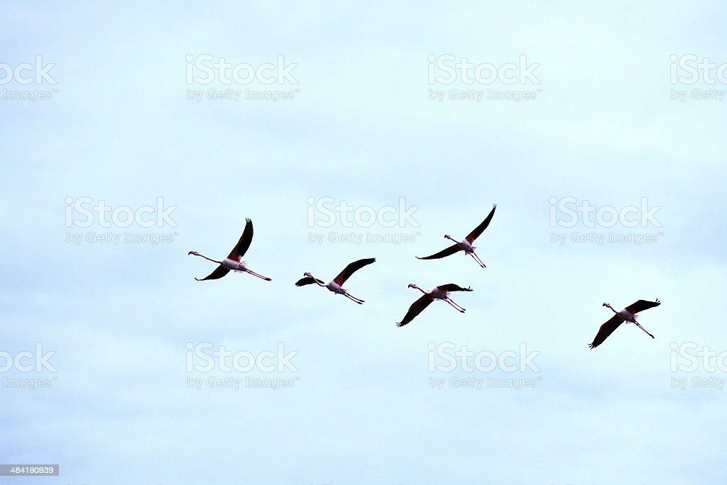 Flamingos - Bafa Lake - Aydin - Turkey royalty-free stock photo