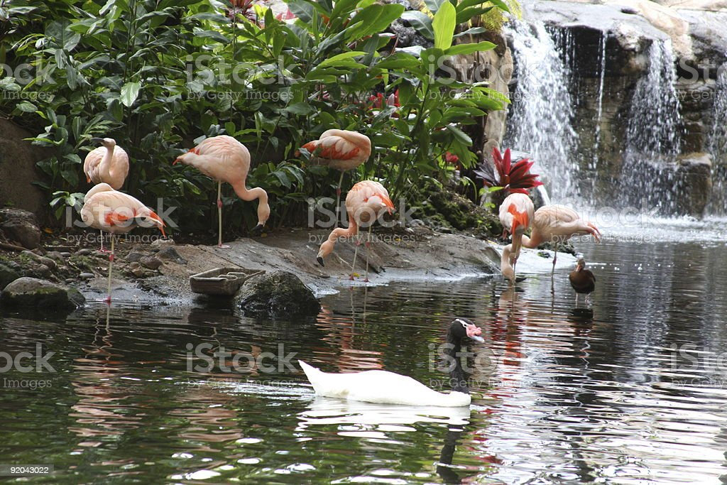 flamingos by waterfall royalty-free stock photo