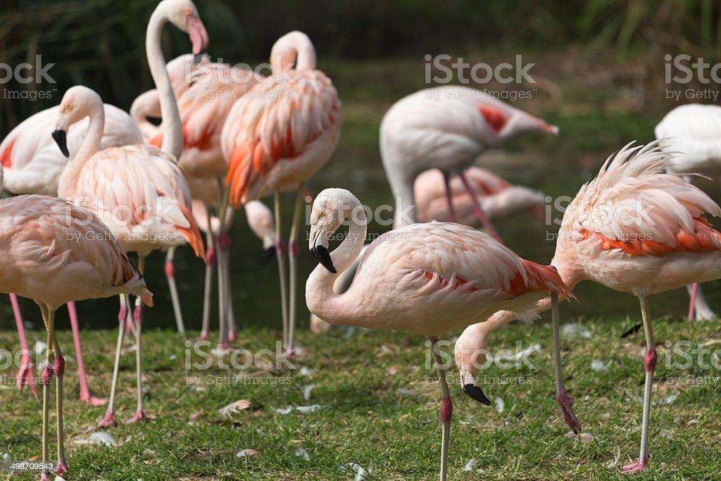 flamingos club stock photo