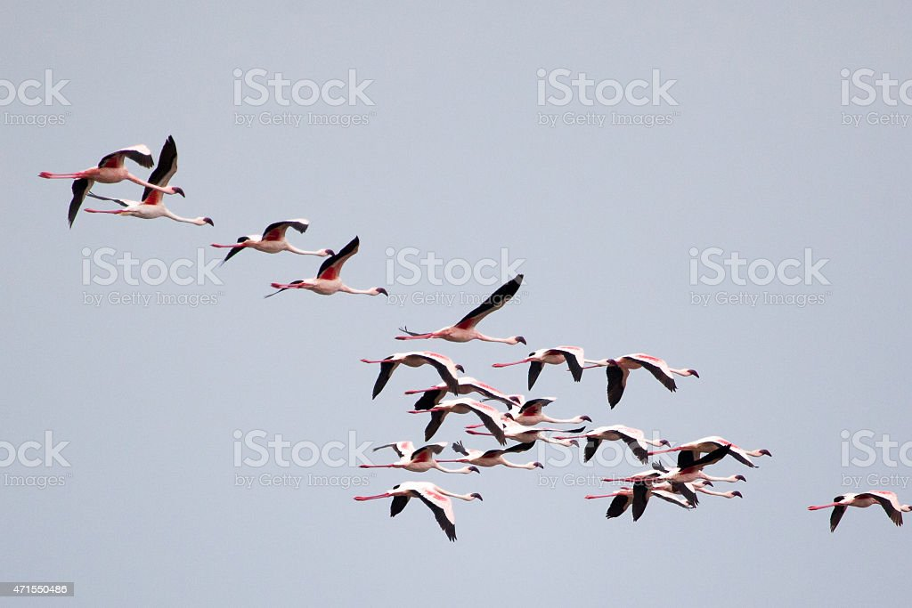 Flamingos flying stock photo