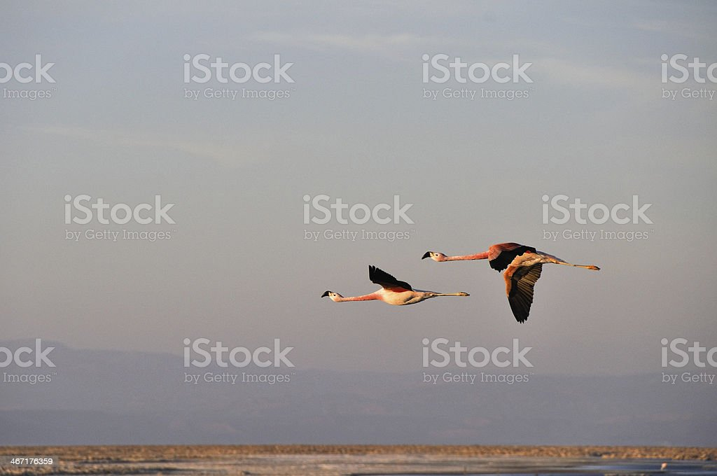 Flamingos flying, Salt flat of Atacama (Chile) royalty-free stock photo