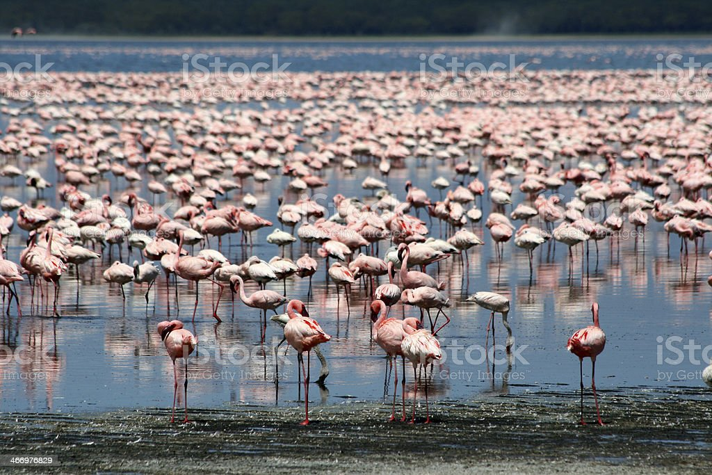 Flamingos in Africa stock photo