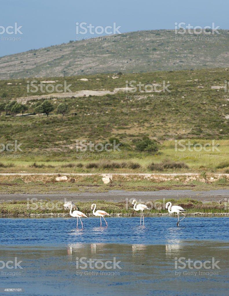 flamingos in Alacati Province,Izmir royalty-free stock photo
