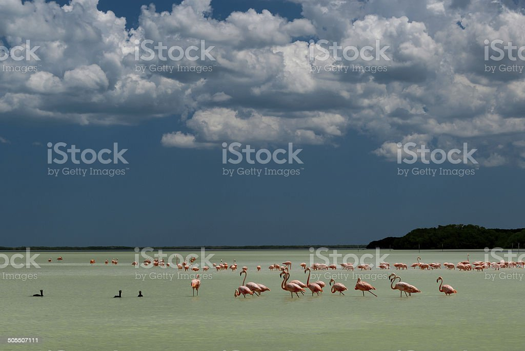 Flock of flamingo birds wadding in tropical water