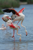 Flamingos in the coupling