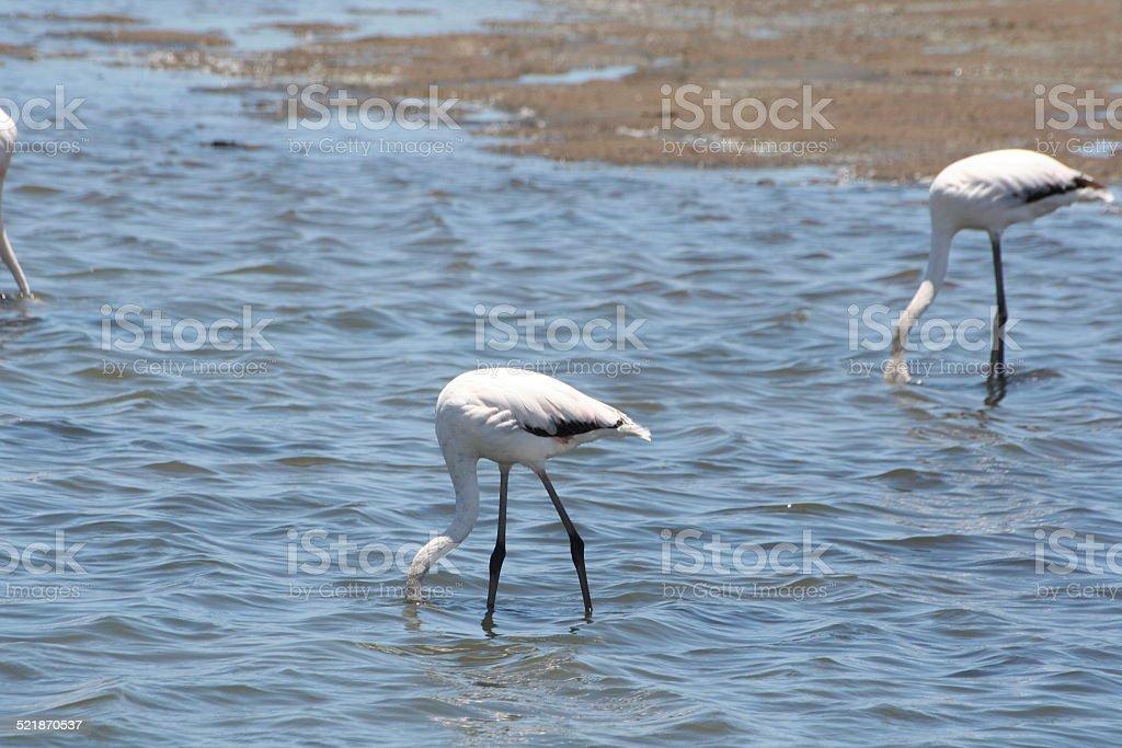 Flamingos in the Lagoon of Walvis Bay, Namibia, Africa stock photo