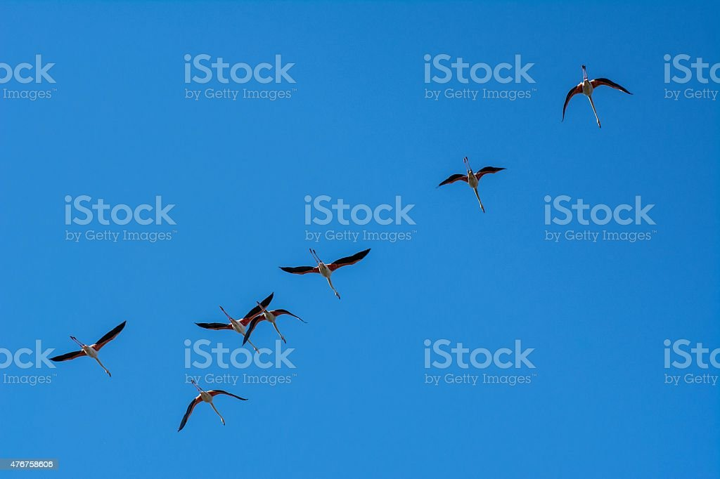 Flamingos in the National Park of Camague, France stock photo