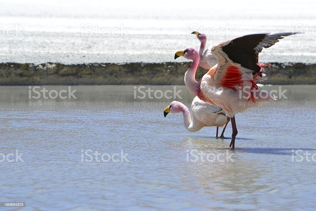 Flamingo's in Uyuni stock photo