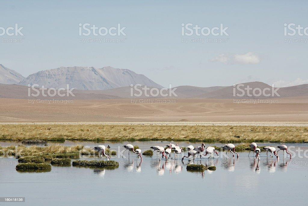 Flamingos, Laguna Desert, Bolivia royalty-free stock photo