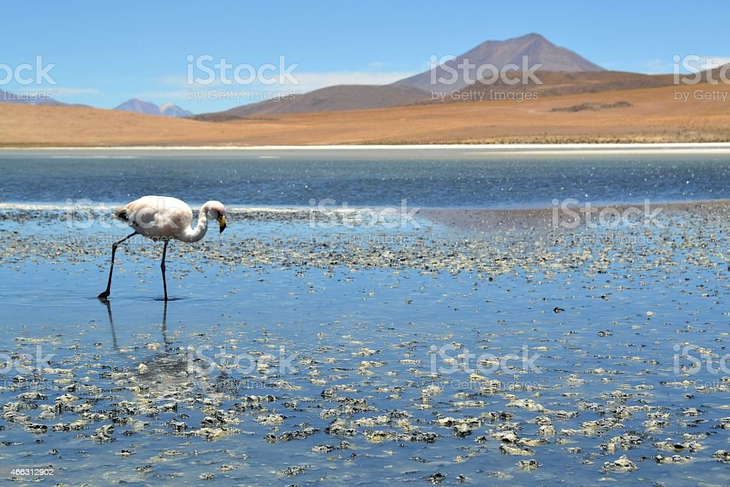 Flamingos on lake in the southern part of Bolivia stock photo