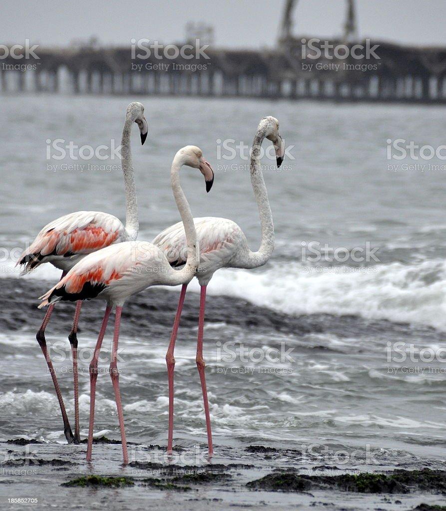 Flamingo's stock photo