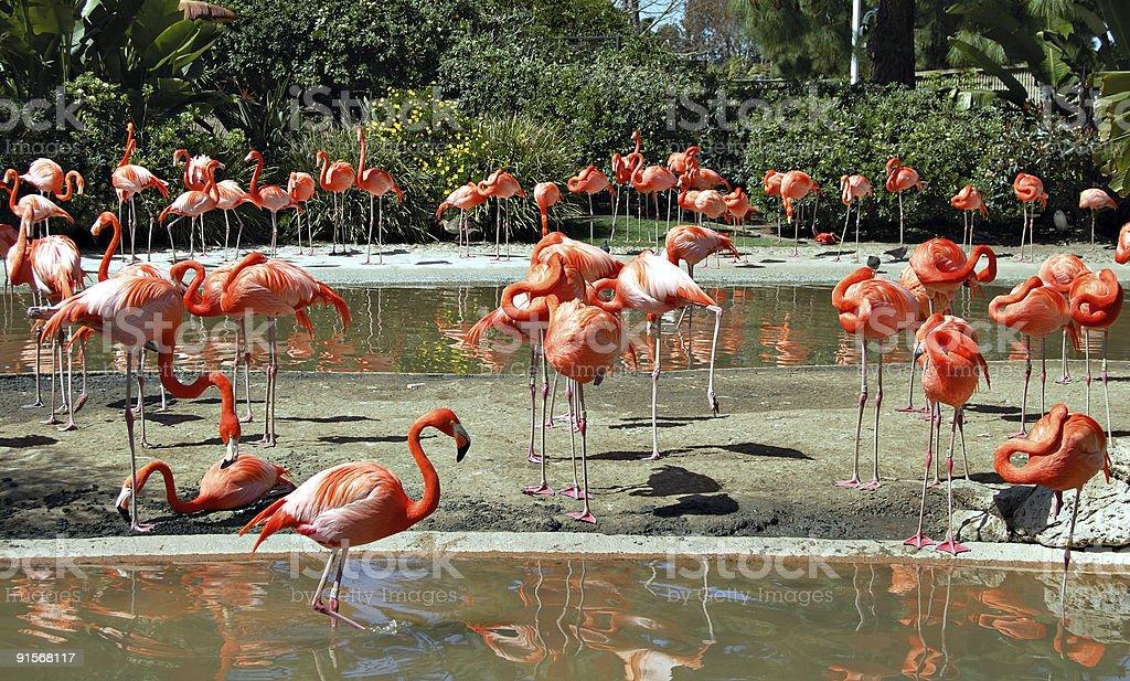 Flamingos royalty-free stock photo