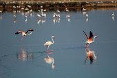 Flamingos running in natural reserve