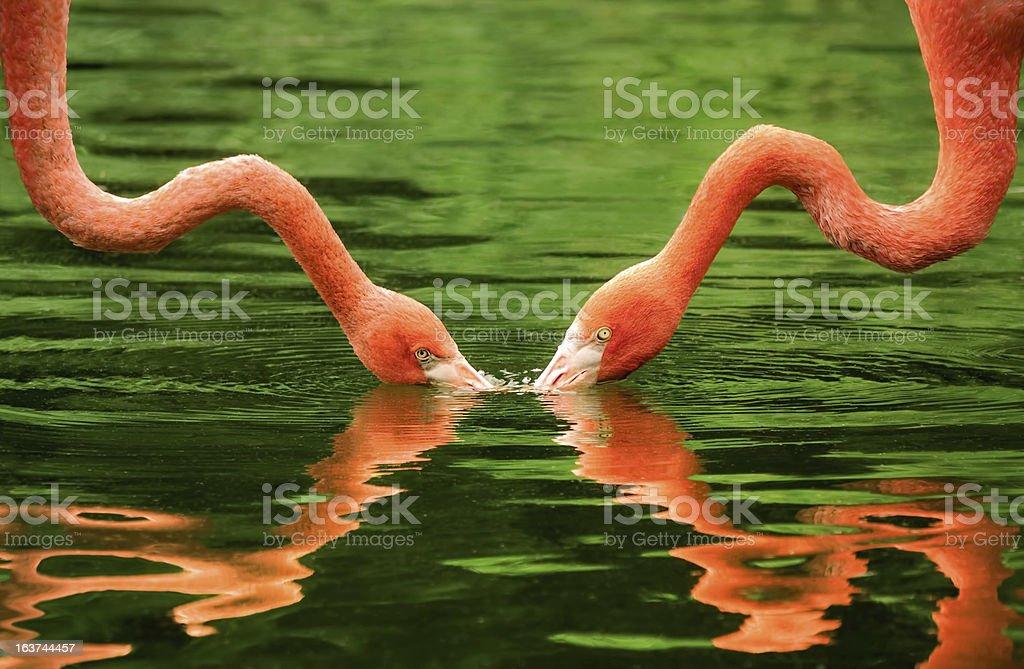 Flamingos symmetrically reflected on water royalty-free stock photo